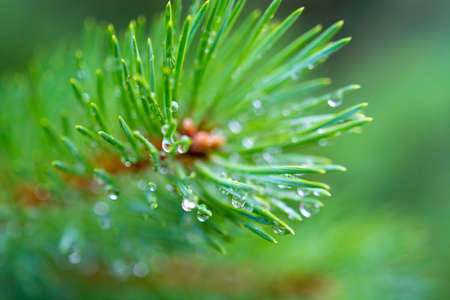 Young branch of green pine tree with many raindrops close up 版權商用圖片 - 129988069