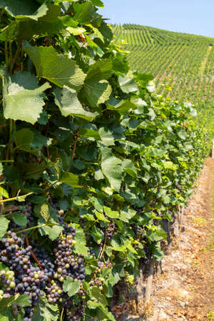 Vineyard with growing red wine grapes, black or purple grapevines in summer