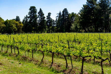 Production of rose, red and white wine in Alpilles, Provence, South of France, view on vineyard in early summer Stock Photo