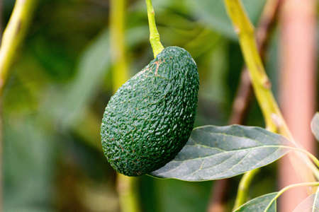 Cultivation on farms of tasty hass avocado trees, organic avocado plantations in Costa Tropical, Andalusia, Spain close up