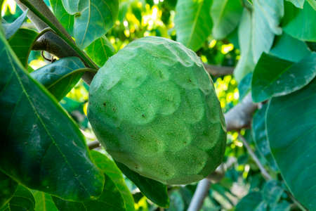 Plantations of cherimoya custard apple fruits in Granada-Malaga Tropical Coast subtropical region, Andalusia, Spain, green cherimoya growing on tree Stok Fotoğraf