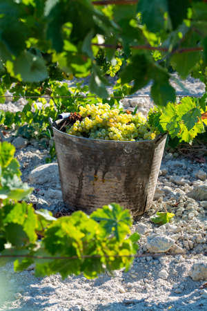 Bucket with new harvest of ripe white grape growing on special light soil in Andalusia, Spain, sweet pedro ximenez or muscat, or palomino grape ready to harvest, used for production of jerez, sherry sweet and dry wines Stock Photo