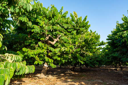 Plantations of cherimoya custard apple fruits in Granada-Malaga Tropical Coast subtropical region, Andalusia, Spain, green cherimoya growing on tree