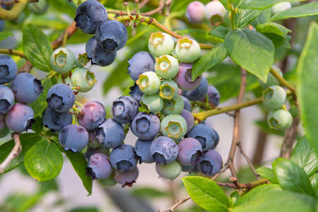 Healthy food and antioxidant, blueberry berries ripening on plant in summer close up