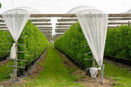 Plantatnions of green raspeberry plants in half opened greenhouse Stock Photo