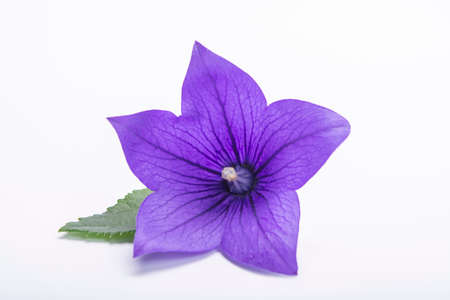 Purple bell flower close up, isolated on white background copy space Archivio Fotografico