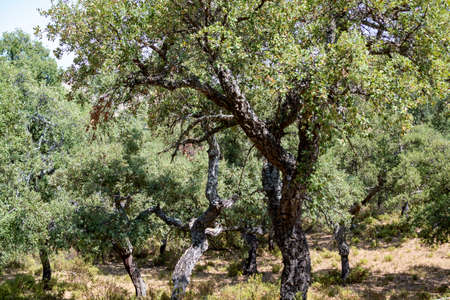Grove with cork oaks, primary source of cork for wine bottle stoppers and other uses in Andalusia, Spain
