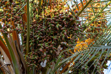 Green palm tree with growing dates fruits Фото со стока