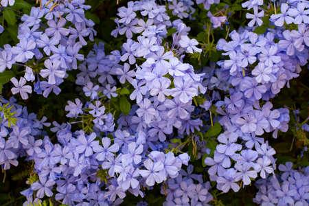 Summer blossom of blue plumbago flowers, nature background