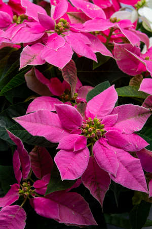 Christmas decoration, poinsettia plant pink Christmas star close up