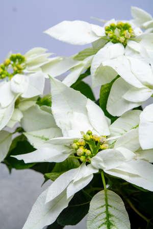 Christmas decoration, poinsettia plant white Christmas star close up