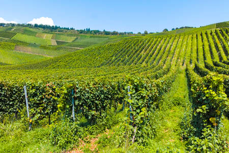 Landscape with famous green terraced vineyards in Mosel river valley, Germany, production of quality white and red wine, riesling Stock fotó