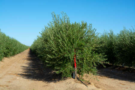 Many olive trees growing on plantations in rows in Andalusia near Cordoba, Spain, olive oil production 스톡 콘텐츠