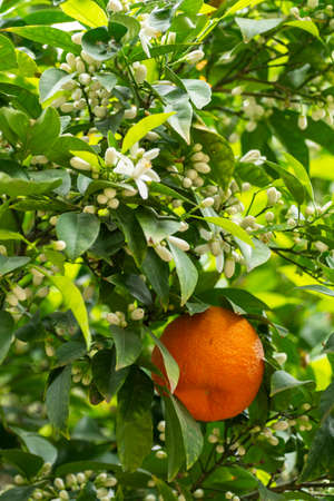 Ripe orange mandarine citrus fruit hanging on tree close up Stockfoto