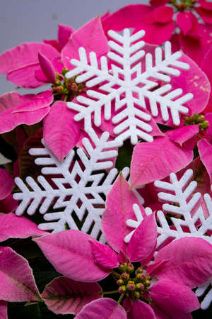 Christmas decoration, poinsettia plant pink Christmas star and white slowflake close up
