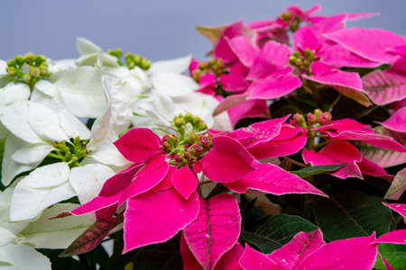 Christmas decoration, poinsettia plant pink and white Christmas star close up