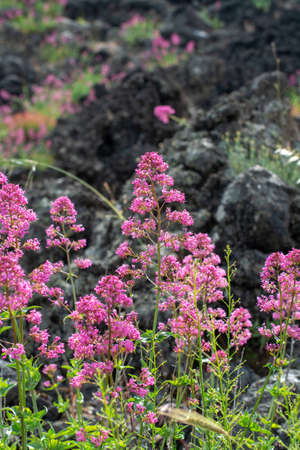 Flora of Mount Etna volcano, seasonal blossom of pink Centranthus ruber Valerian or Red valerian, popular garden plant with ornamental flowers. 写真素材