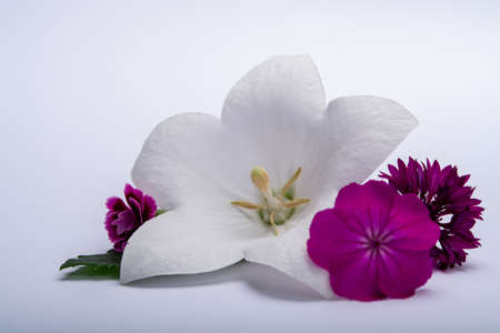 White bell flower and pink cornflowers close up, isolated on white background copy space