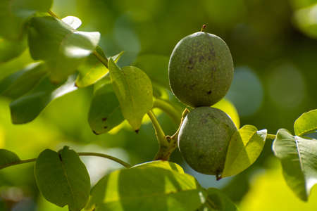 Green unripe walnuts on tree in garden or orchard Stock Photo