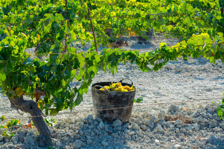 Bucket with new harvest of ripe white grape growing on special light soil in Andalusia, Spain, sweet pedro ximenez or muscat, or palomino grape ready to harvest, used for production of jerez, sherry sweet and dry wines