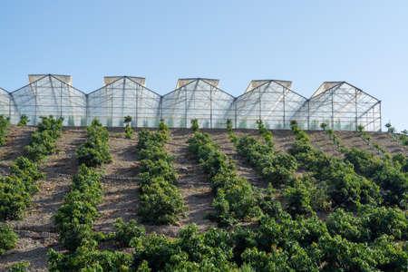Anbau auf Farmen von leckeren Hass-Avocado-Bäumen, Bio-Avocado-Plantagen in Costa Tropical, Andalusien, Spanien Standard-Bild