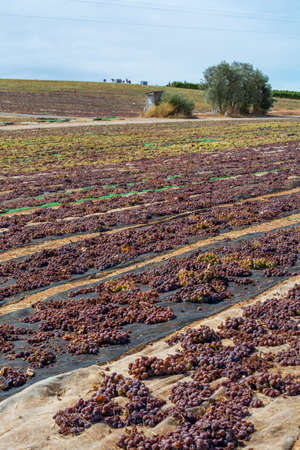 Traditional drying of sweet wine pedro ximenez grapes under hot sun on fields in Montilla-Moriles wine region, Andalusia, Spain Reklamní fotografie