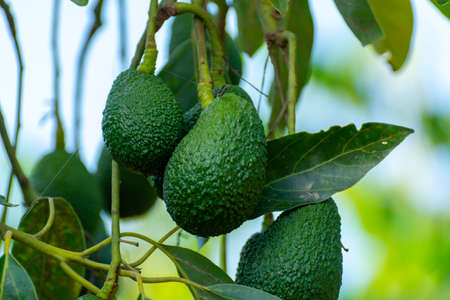Cultivation on farms of tasty hass avocado trees, organic avocado plantations in Costa Tropical, Andalusia, Spain