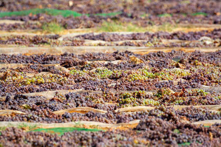 Traditional drying of sweet wine pedro ximenez grapes under hot sun on fields in Montilla-Moriles wine region, Andalusia, Spain