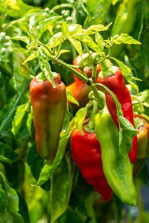 Red sweet turkish paprika vegetable growing on fields in Spain