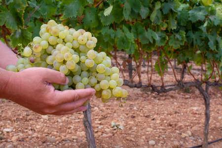 New harvest of sweet sherry wine pedro ximenez grape on vineyards in Montilla-Moriles region, Andalusia, Spain, near Montemayor