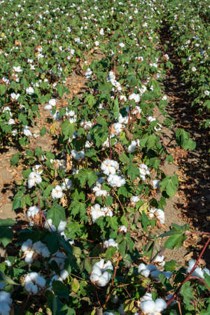 Plantations of organic fiber cotton plans with white buds ready for harvest, Andalusia, Spain