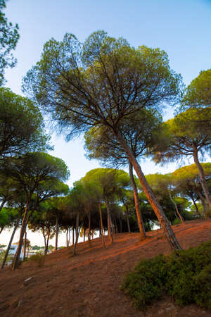 Pine trees forest growing on sandy dunes in Andalusia near Atlantic ocean coast on sunset