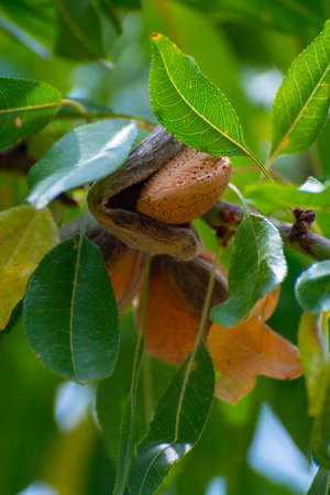 Ripe almond nuts on tree ready for harvest close up 스톡 콘텐츠