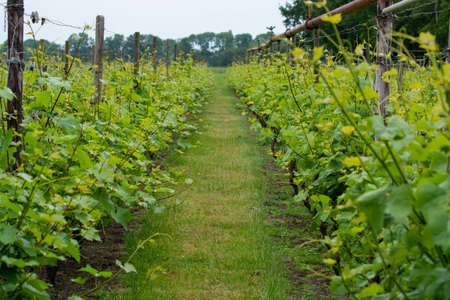 Rows with white wine grape plants on Dutch vineyard in North Brabant, wine production in Netherlands