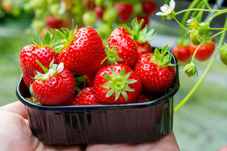 Harvest of fresh tasty ripe red strawberries growing on strawberry farm in greenhouse Фото со стока
