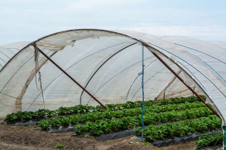 Green houses constructions on strawberry fields, strawberry plants in rows growing on  farm on soil Stock fotó