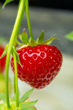 Fresh tasty ready for harvest ripe red and unripe green strawberries growing on strawberry farm in greenhouse