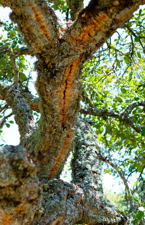 Peeled cork oak, primary source of cork for wine bottle stoppers and other uses in Andalusia, Spain