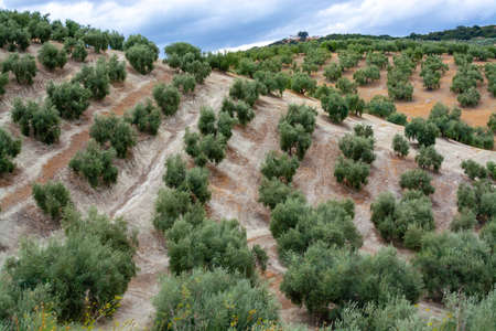 Young olive trees growing on plantations in rows in Andalusia near Cordoba, Spain