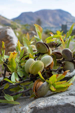 New harvest of ripe almonds nuts  close up
