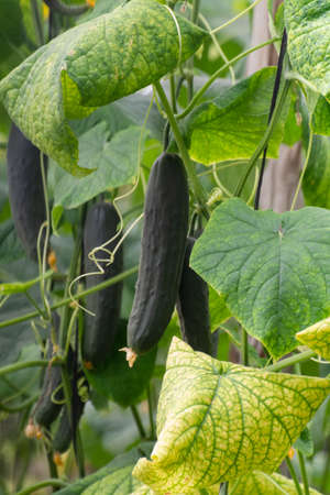 Dark green big Spanish cucumbers growing in greenhouse, ready for harvest