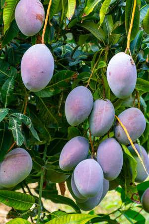 Cultivation of exotic sweet fruit mango in subtropical Malaga-Granada tropical coast region, Andalusia, Spain, ripe big mango fruits in tree Stockfoto