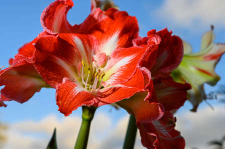 Winter flower big red and white Hippeastrum amaryllis close up and blue sky Stockfoto