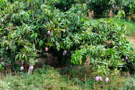 Cultivation of exotic sweet fruit mango in subtropical Malaga-Granada tropical coast region, Andalusia, Spain, plantations of mango trees ready to harvest Stockfoto