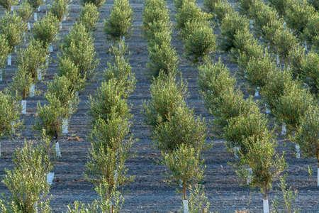 Young olive trees growing on plantations in rows in Andalusia near Cordoba, Spain Stock Photo