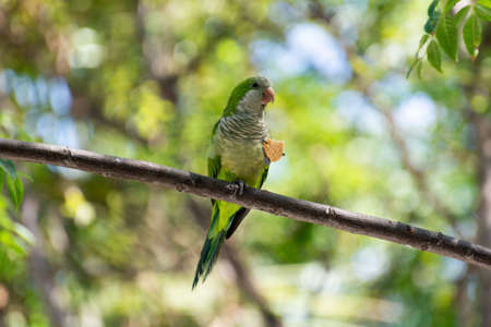 Little green parrot sits on tree and eats cookies, nature life background
