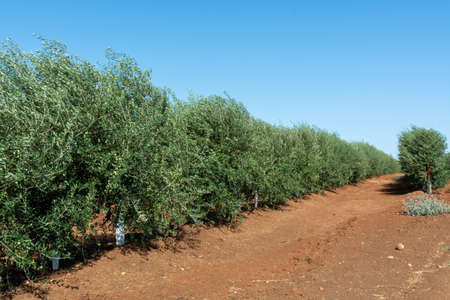 Many olive trees growing on plantations in rows in Andalusia near Cordoba, Spain, olive oil production Stockfoto