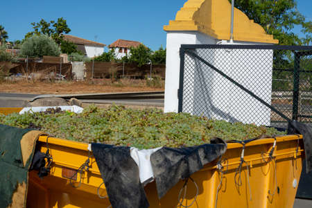 Delivery by farmers of new harvest of sweet white pedro ximenz wine grapes in Montilla-Moriles region, Andalusia, Spain