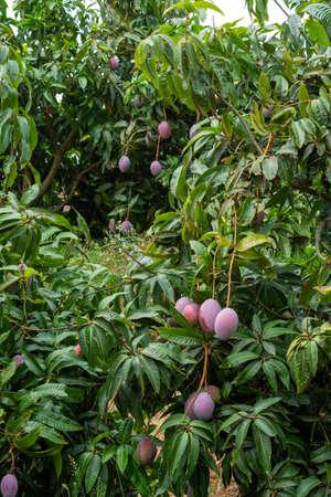 Cultivation of exotic sweet fruit mango in subtropical Malaga-Granada tropical coast region, Andalusia, Spain, ripe big mango fruits in tree Stock Photo