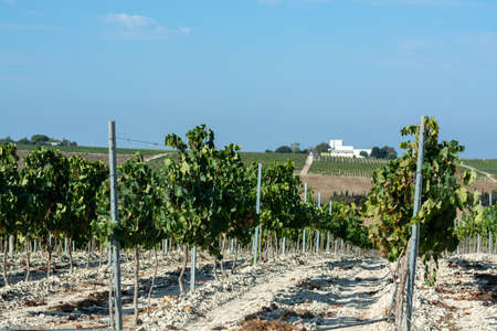Landscape with famous sherry wines grape vineyards in Andalusia, Spain, sweet pedro ximenez or muscat, or palomino grape ready to harvest, used for production of jerez, sherry sweet and dry wines